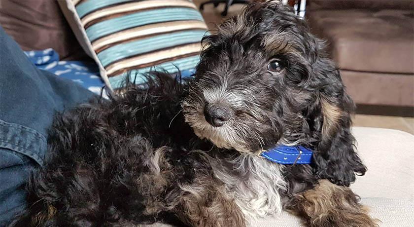 Rupert the puppy